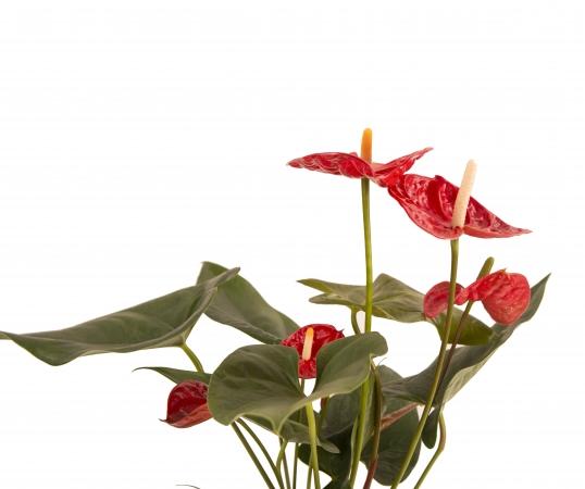 Anthurium rosu in ghiveci