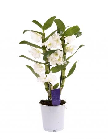 Dendrobium ghiveci