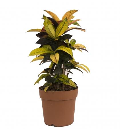 Ghiveci Croton