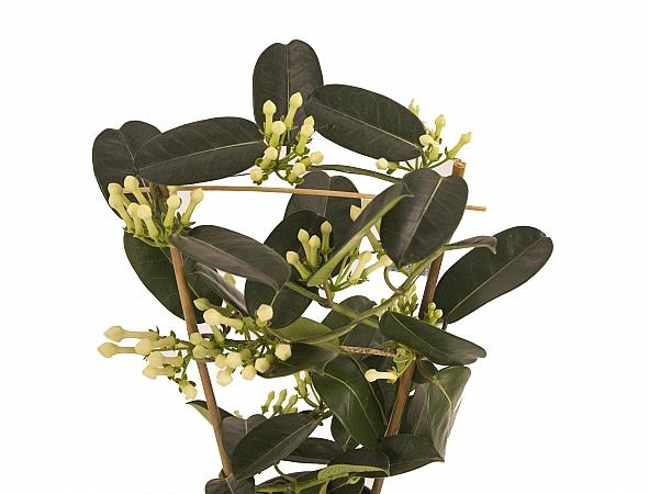 Stephanotis Jasmine sau iasomie de Madagascar