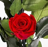 5 Trandafiri Criogenati Rosii in vas de sticla 4