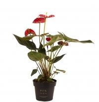 Anthurium rosu in ghiveci 2