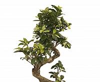 Bonsai Ficus 3