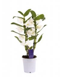 Dendrobium ghiveci 2