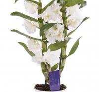 Dendrobium ghiveci 3