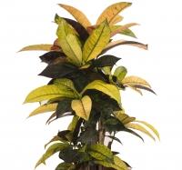 Ghiveci Croton 3