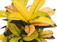 Ghiveci Croton 4
