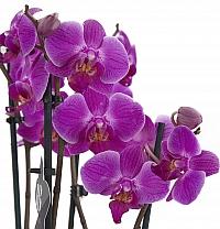 Orhidee Phalaenopsis ghiveci 4