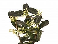 Stephanotis Jasmine sau iasomie de Madagascar 3