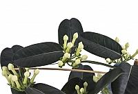 Stephanotis Jasmine sau iasomie de Madagascar 4