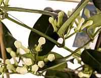 Stephanotis Jasmine sau iasomie de Madagascar 5