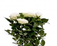 Trandafir alb in ghiveci 3