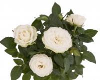 Trandafir alb in ghiveci 4