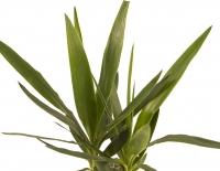 Yucca ghiveci 4