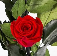 5 Trandafiri Criogenati Rosii in vas de sticla 3