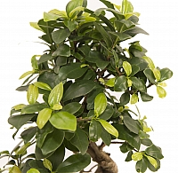 Bonsai Ficus 4