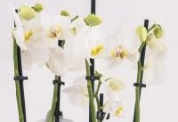 Orhidee alba ghiveci 3