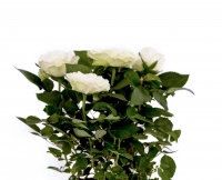 Trandafir alb in ghiveci 2