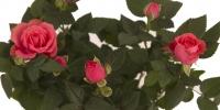 Trandafir minirosa in ghiveci 3