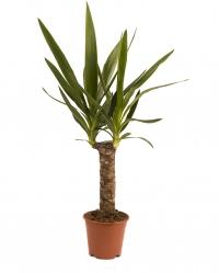 Yucca ghiveci 2