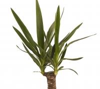 Yucca ghiveci 3