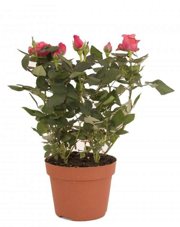 Trandafir minirosa in ghiveci