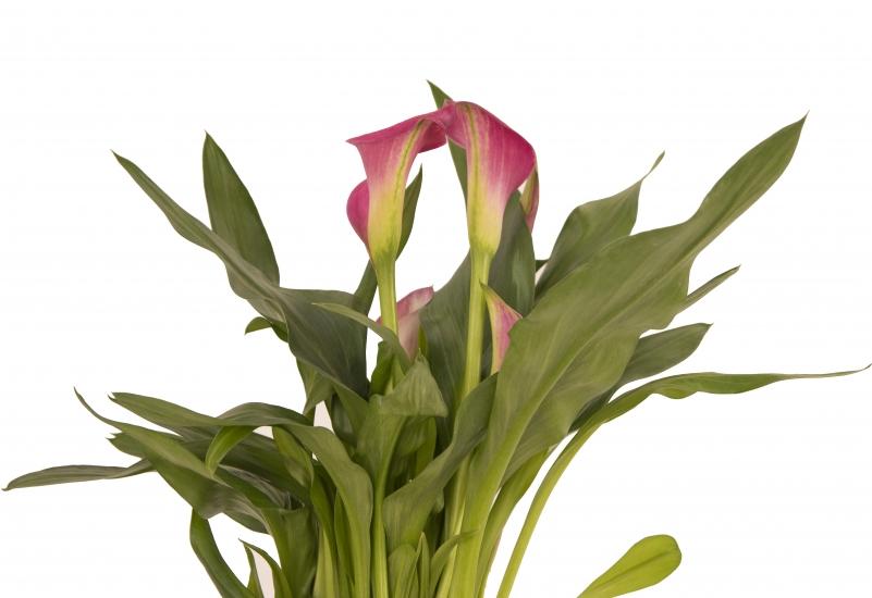 Cală roz în ghiveci la preț accesibil. Comandă online Cala Roz | Flori24