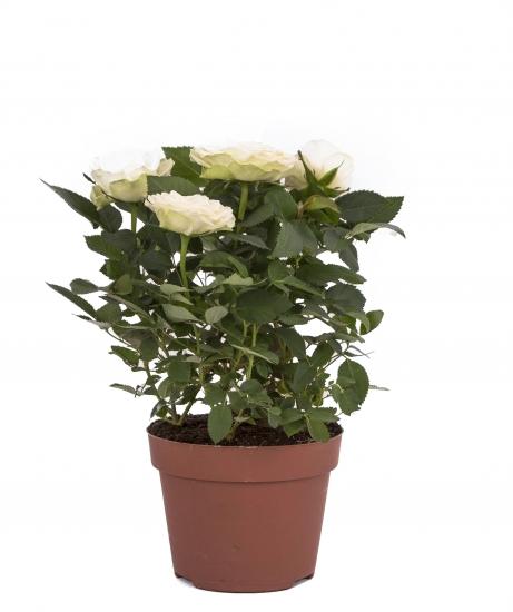 Trandafir alb in ghiveci