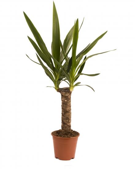 Yucca ghiveci